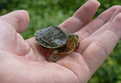Small turtle on a hand looking at camera and with leaves on the background