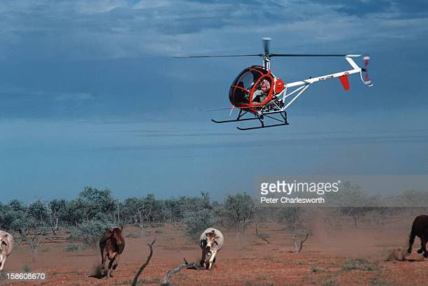 A small two seat helicopter herding cattle on a vast cattle station or ranch in outback Australia