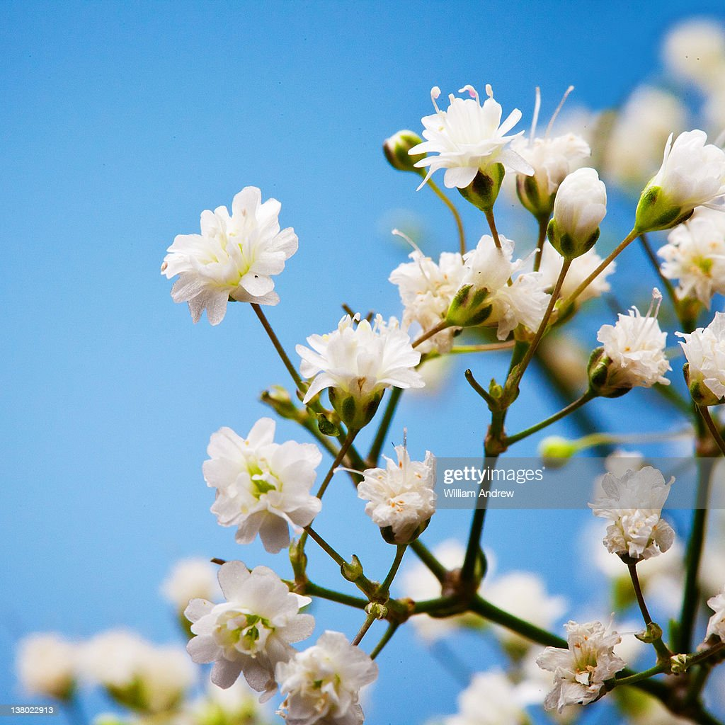 Small, white, baby's breath flowers : Stock Photo