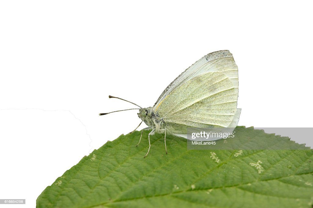 Small white butterfly, Pieris rapae : Stock Photo