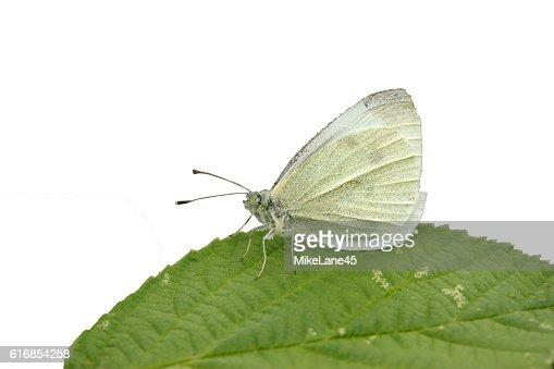 Small white butterfly, Pieris rapae : Stock Photo