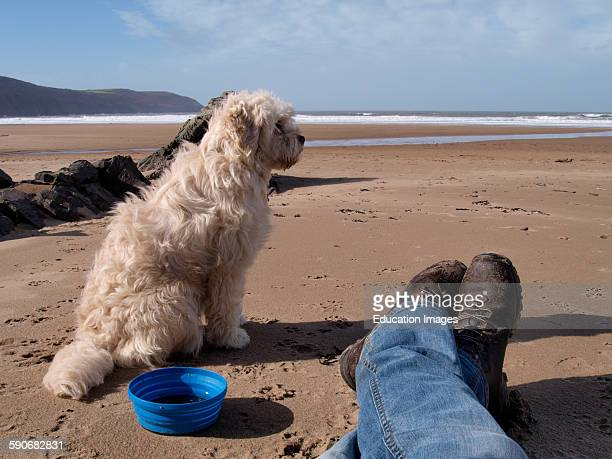 Small white dog sat next to owner on the beach Woolacombe Devon UK