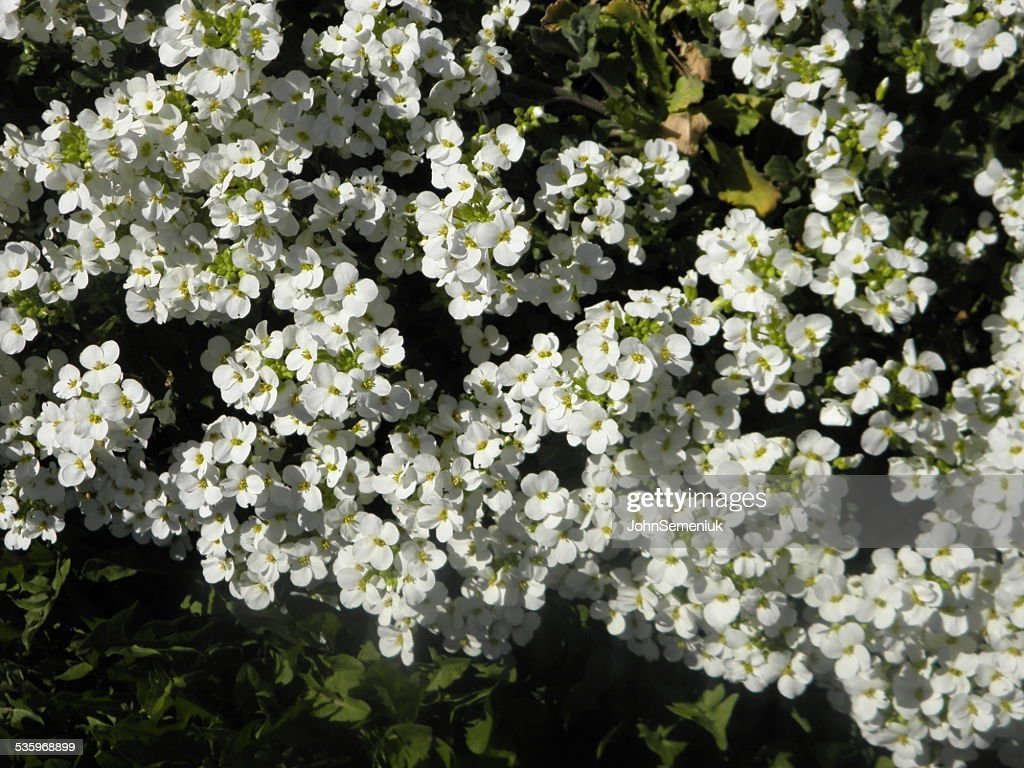 small white flower garden cover. : Stock Photo