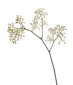 Closeup of small white gypsophila flowers isoaletd on white