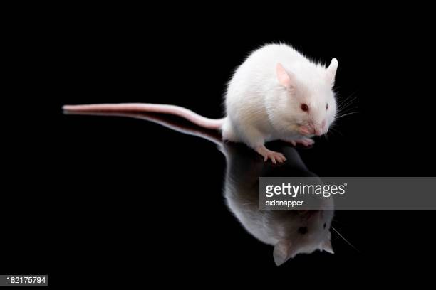 Small white mouse