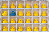 Pigeon hole box with 24 boxes, 23 are filled with small yellow rubber ducks and one has a differeent coloured blue duck. Concept image representing standing out from the crowd, being different, not fi