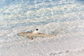 Small young black tip reef shark on the beach