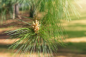 Small young cones of a coniferous tree in the forest. In the park