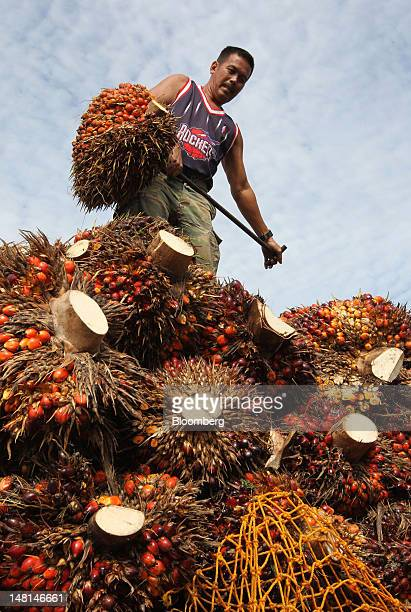 A smallholder checks on his truck loaded with oil palm fruit at the Felda Global Ventures Holdings Bhd palm oil plant in Besout Perak Malaysia on...
