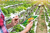 Smart agriculture , precision farming concept. Farmer using drone and NIR images application screen used to check health maps for alert disease vegetation in vertical strawberry farm with flare light.