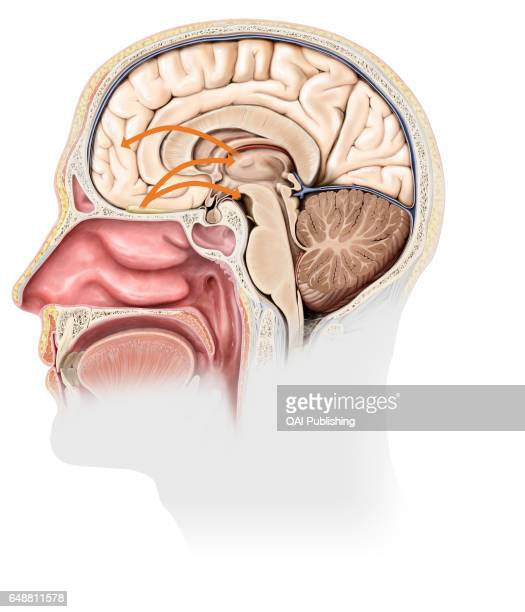 Smell mechanism Each nasal cavity encloses an olfactory epithelium whose stimulation by odorous molecules generates nerve signals These are routed to...