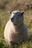 Smile Sheep, Lamp with Sun Beam in Green Field