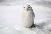 Smiley snowy owl.