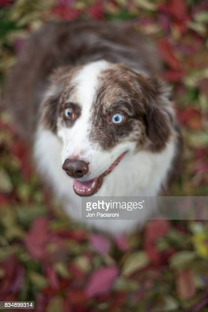 A smiling Australian Shepherd sitting happily on a pile of multi-colored fall leaves