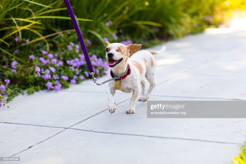 Portrait of 'Jessica,' a smiling one-eyed Beagle mix running on a sidewalk. By using this photo, you are supporting the Amanda Foundation, a nonprofit organization that is dedicated to helping homeless animals find permanent loving homes.