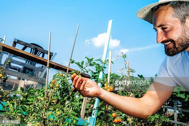 smiling bearded farmer man checking tomatoes in garden