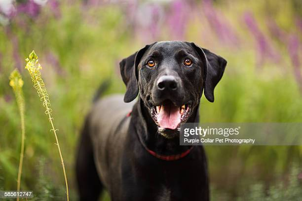 Smiling Black Lab Outdoors