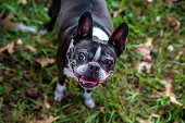 Boston Terrier looking up and smiling