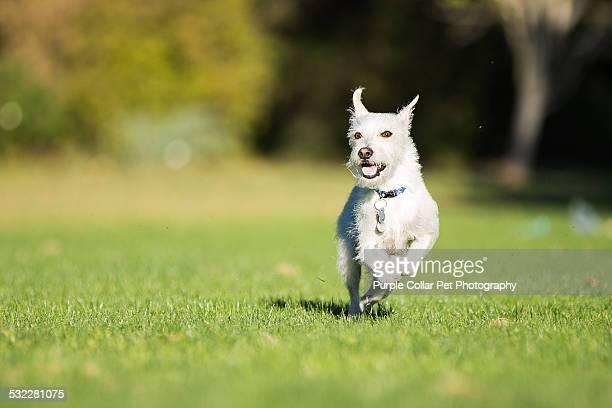 Smiling Dog Running Outdoors