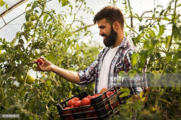 Smiling farm worker picking ripe tomatoes in a greenhouse.