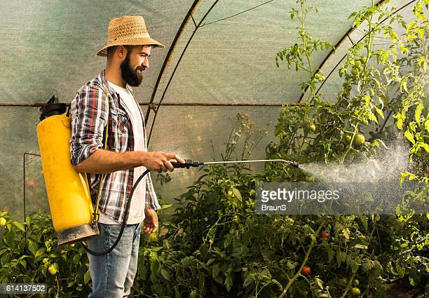 Smiling farm worker spraying tomatoes in polyethylene tunnel.