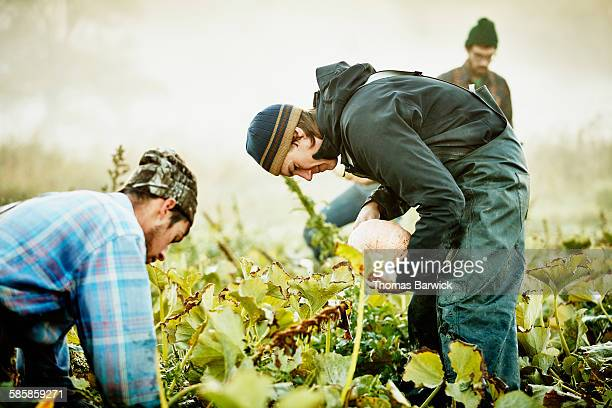 Smiling farmer harvesting squash with coworkers