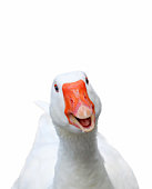 Photo of white smiling goose on white background