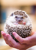 Closeup photo of a small hedgehog being held in the palm of a young man