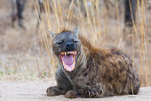 Smiling Hyena, Kruger NP, South Africa
