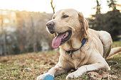Smiling labrador dog in the city park portrait