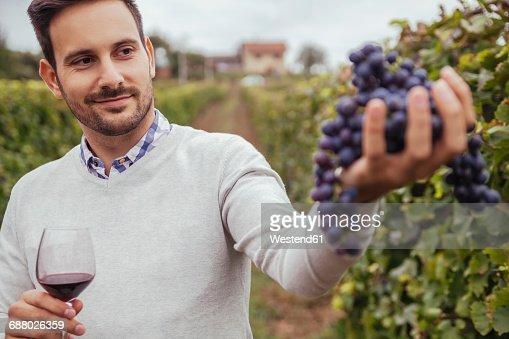 Smiling man in a vineyard checking grapes