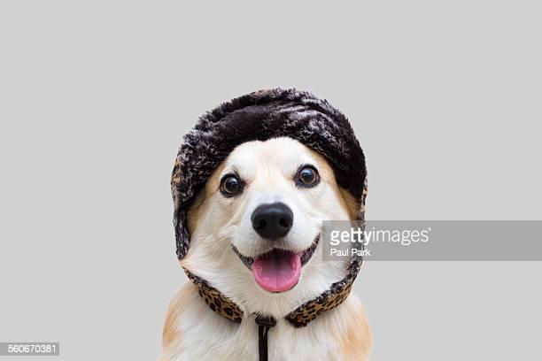 Smiling pembroke welsh corgi wearing a fur hat