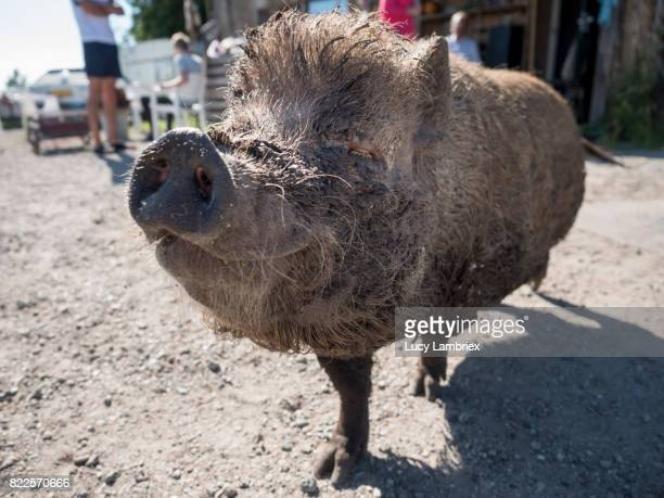 Smiling pet pig