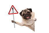 smiling pug puppy dog holding up red warning, attention traffic sign, isolated on white background