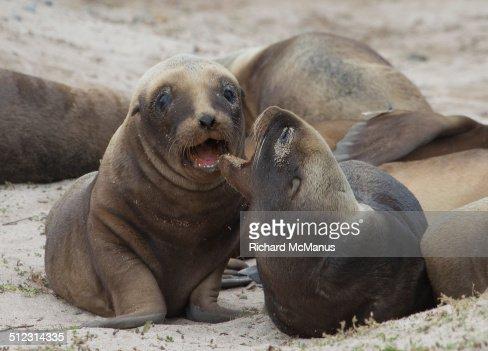 Smiling sea lion pups.