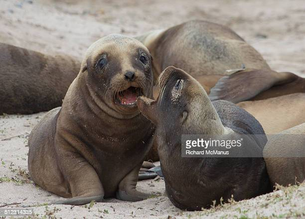 Smiling sea lion pups.