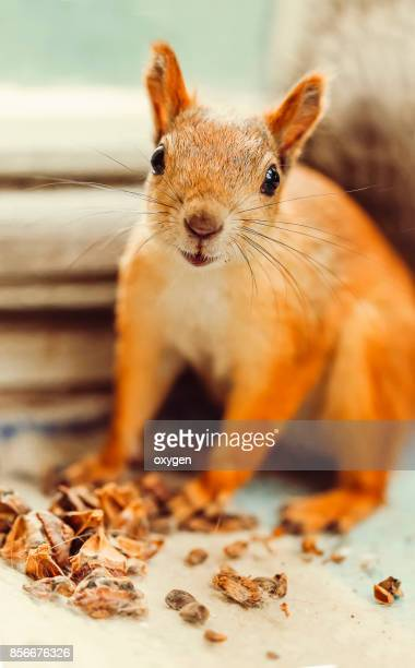 Smiling Squirrel sitting on a wooden frame of window