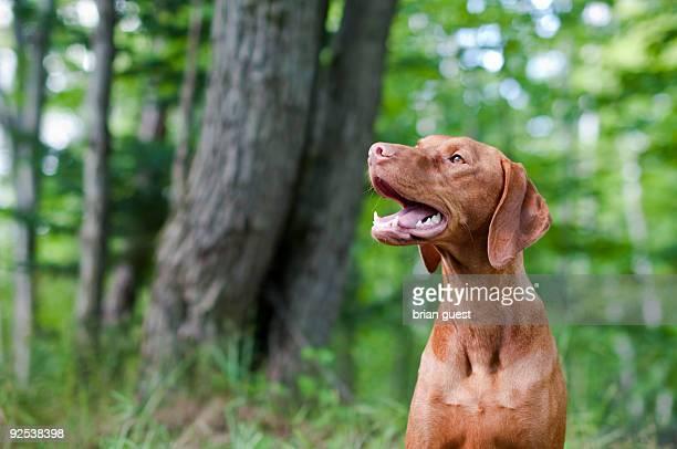 Smiling Vizsla Dog  in the Woods