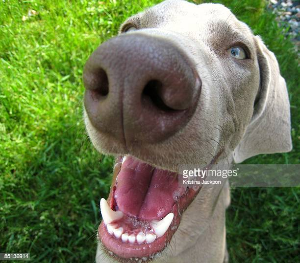 Smiling Weimaraner Dog
