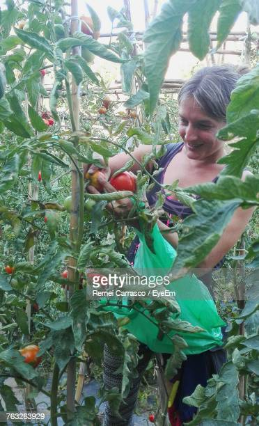 Smiling Woman Harvesting Tomatoes At Farm