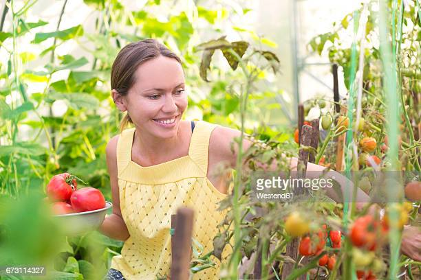 Smiling woman harvesting tomatoes in a greenhouse