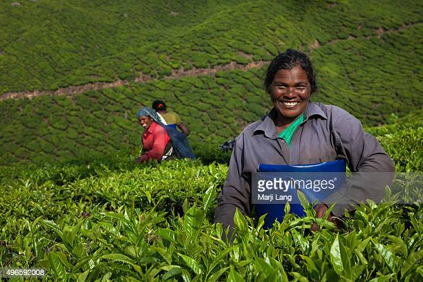 Smiling women plucking tea leaves in the beautiful tea plantations near Munnar hill station Kerala India