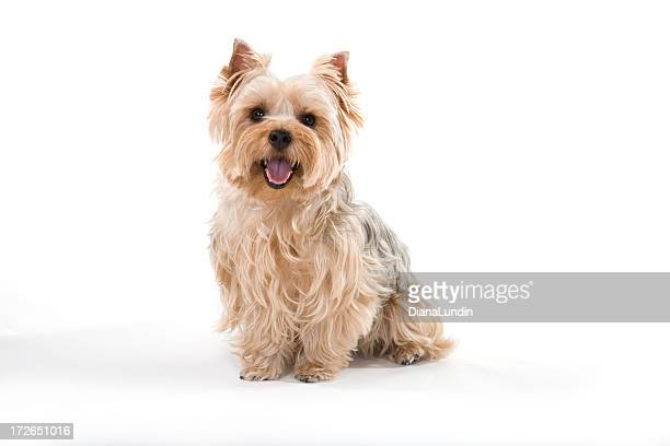 Smiling Yorkshire Terrier