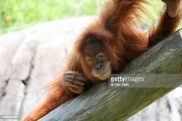 Smiling Young Orangutan