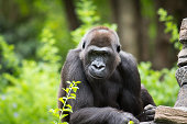 Smirk gorilla