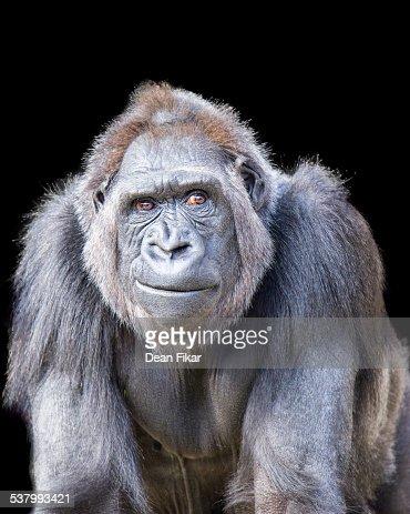 Smirking Gorilla