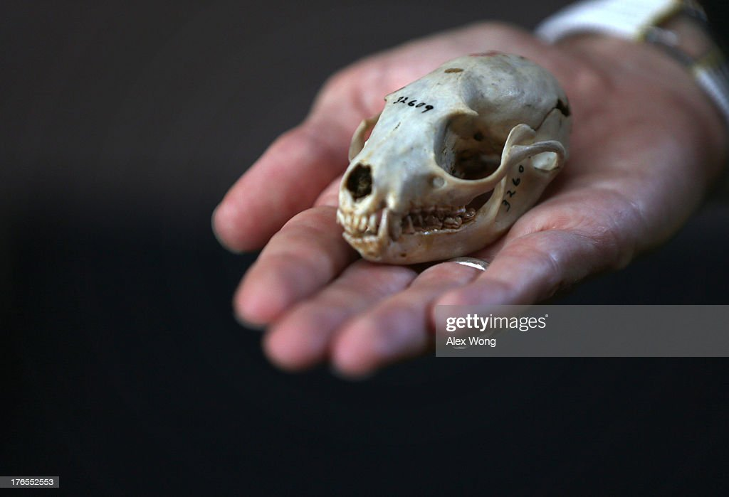 A Smithsonian Institution staff holds a skull of an olinguito, a new species of Carnivore which has been newly discovered, for photographers during a news conference August 15, 2013 at the Smithsonian Castle in Washington, DC. It took Kristofer Helgen, curator of mammals at the Smithsonian's National Museum of Natural History, and his team on a journey from museum cabinets in Chicago to cloud forests in South America to discover and confirm the new species of olinguito (Bassaricyon neblina), which has been mistakenly identified for more than 100 years. It's also the first carnivore species to be discovered in the American continents in 35 years.
