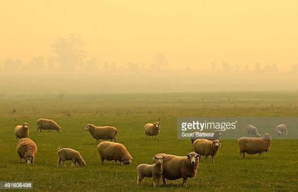 Smoke from a bushfire is seen near a field of sheep near Benloch Victoria on October 7 2015 near Melbourne Australia Victorian fire crews have been...