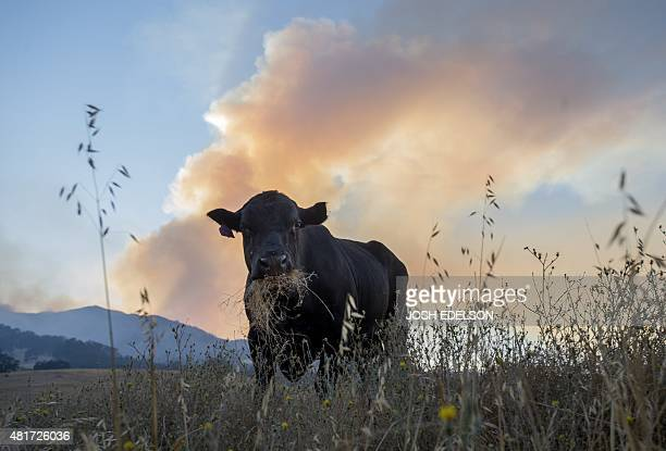 A smoke plume from the Wragg fire billows behind a cow near Winters California on July 23 2015 The fire has grown to over 6000 acres and is 15...