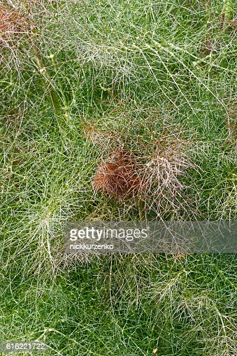 Smokey fennel : Stockfoto